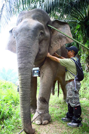 Raymond fixing satellite collar on elephant
