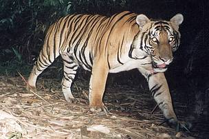 A resident tiger camera-trapped in Jeli