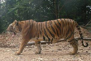 One of the first tigers camera-trapped in Temengor Forest Reserve