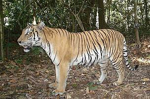 A tiger camera-trapped in Royal Belum State Park