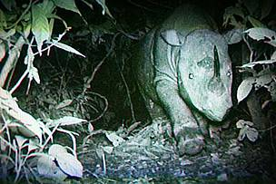 Borneo rhino captured in the wild by camera trap