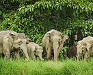The elephants' primary threat is the loss of habitat.