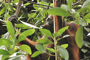 Our work protects the orang utan population in Sabah.