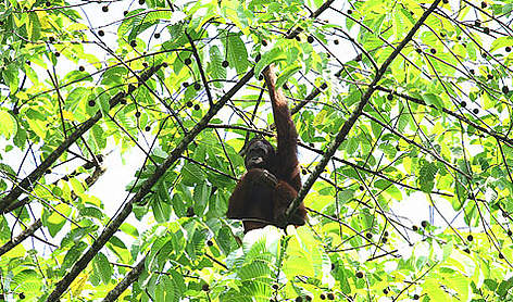 Wild orang-utans need a reliable source of variety of fruits and young leaves to survive. rel=