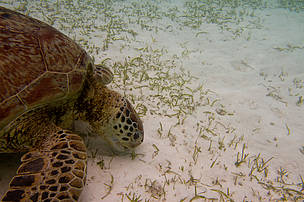 A green turtle feeding on seagrass at Pom-Pom Island, Semporna.