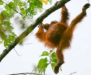 Orang-utans live, eat and nest high up in the forest canopy, seldom venturing to the ground except ...  	© WWF-Malaysia/Lee Shan Khee