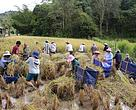 Farmers working together (gotong-royong in Malay language) to harvest a SRI pilot plot.