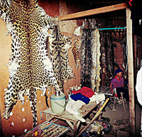 Leopard, clouded leopard and tiger skins on sale near the Thai border.