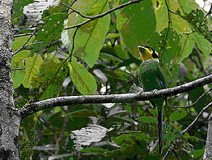 Long tailed Broadbill