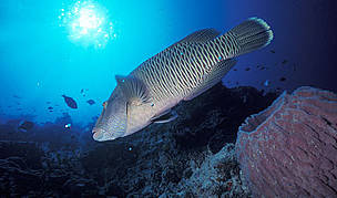 Humphead Wrasse - world's largest reef fish. Now a highly prized delicacy