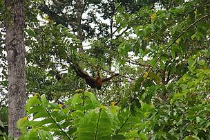 Orangutan captured in Bukit Piton