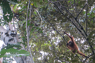 Jan 2013: An Orang-utan was spotted using a planted Laran tree for travelling through, by swinging from tree to tree.