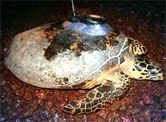 The turtle named Puteri Pulau Upeh with the satellite transmitter attached.  	© WWF-Malaysia/Carrol Lawrence