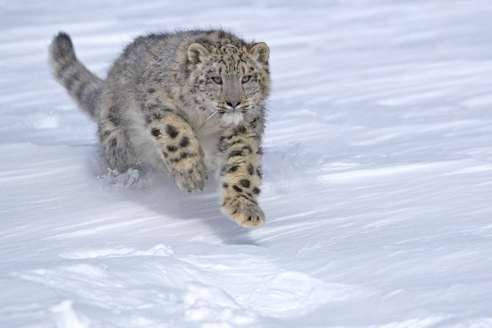 Snow Leopard Sos Wwf Malaysia