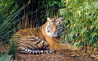 Sumatran tigers in danger of following Javan and Bali tigers into extinction as trade in body parts continues largely unhindered