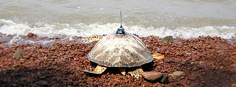 A hawksbill fitted with a satellite transmitter, returning back to sea. rel=