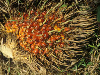 Oil palm fruit <i>(Elaeis guineensis)</i>