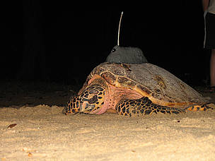 The third and final turtle deployed with the transmitter for this year  © WWF-Malaysia