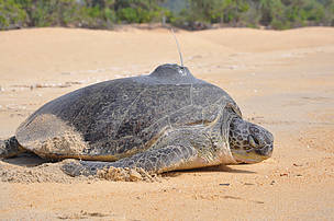 Satellite tracking research of green turtle in Terengganu