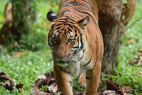 Tiger | WWF Malaysia on amur tiger map, sumatran tiger map, dhole map, african tiger map, indochinese tiger map, chinese tiger map, caspian tiger map, tiger habitat map, golden tiger map, south china tiger map, malayn tiger map, asiatic cheetah map,